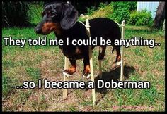They told me I could be anything ... ***************************************** #doberman #dog #dachshund #funny