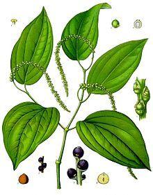 Pimenteira (Piper nigrum) com grãos de pimenta ainda imaturos