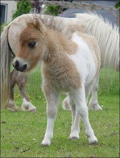 Falabella | VERY FAIRY GARDEN...: ~Falabella~ A horse of course.