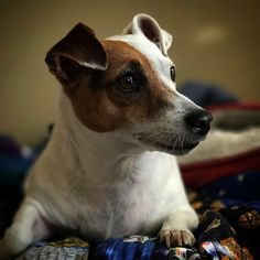 JACKIE Jack Russell Terrier from Ireland