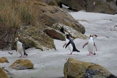 I felt so lucky to have been so close to these beautiful yellow eyed penguins aka hoiho waddling around the coast of Dunedin.   These beautiful creatures are unique to New Zealand and is thought to be one of the world's rarest penguin species.  Its exciting to have shared some time observing them in there natural environment!