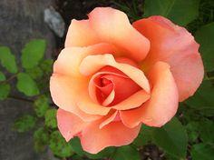 Orange Rose - Passion, Desire, and Enthusiasm