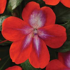 Patchwork Cosmic Orange Impatiens is the first tri color variety. Cool combo of red, lavender and white. Drought tolerant.
