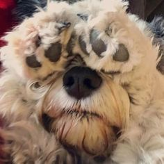 """Find out more information on """"schnauzer puppies"""". Check out our internet site. Cute Puppies, Cute Dogs, Dogs And Puppies, Doggies, Big Dog Toys, Schnauzer Puppy, Schnauzers, Best Dog Breeds, Dog Pictures"""