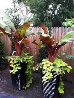 Red Banana plant with sweet potato vine and petunias