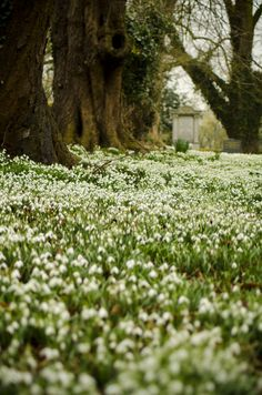 Snowdrops at Chelves
