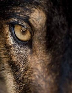 Eye of iberian wolf (Canis lupus signatus). Fearless, free, wild, ambush and willpower concepts. Wolf Love, Wolf Spirit, My Spirit Animal, Beautiful Wolves, Animals Beautiful, Regard Animal, Regard Intense, Grand Chat, Wolf Hybrid