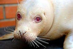 "Foca albina rechazada por su madre por ser ""demasiado fea"" - Rare albino seal shunned by her mother for being 'too ugly' nursed back to health at rescue centre"