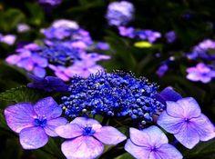 Purple hydrangeas via www.Facebook.com/PurpleIsWho