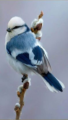 Jaiden is my personal blue bird 💙 White Blue Tit (Songbird) Parus Cyanus throughout Russia & Central Asia Nature Animals, Animals And Pets, Baby Animals, Cute Animals, Funny Animals, Pretty Animals, Nature Nature, Wild Nature, Unique Animals