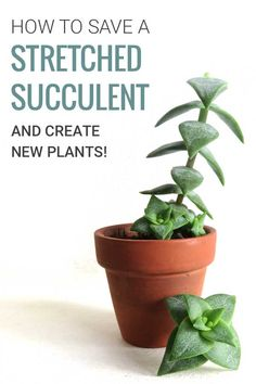 Is your succulent growing tall and thin, and all stretched out? Learn why it happens and how to fix it. And end up with more plants in the process! | More at modandmint.com | #succulents #propagating #indoorplants