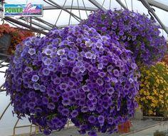 Power Flowers - Calibrachoa