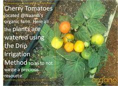 Cherry Tomatoes at Naandi's organic farm. All the plants on this farm use the Drip Irrigation Method to stop/limit the wastage of water that can tend to happen on Agricultural lands.