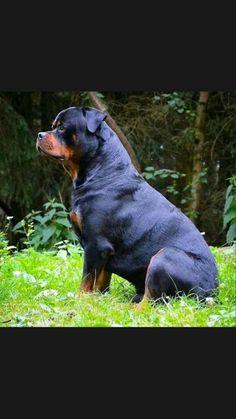 Rottweiler Dog Puppy, Doberman Dogs, Mans Best Friend, Best Friends, Cane Corso, Dog Quotes, Dog Harness, Rottweilers, Pitbulls