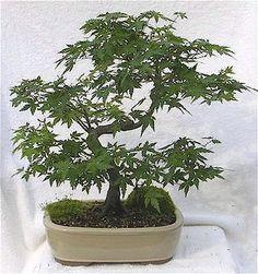 bonsai including Maple, Juniper Bonsai, Azaleas and Flowering Bonsaizengardenbonsai.com