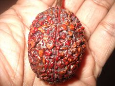 One Faced Ek Mukhi Rudraksha Hindu Sacred Divine Rudraksh Bead 200 years Old