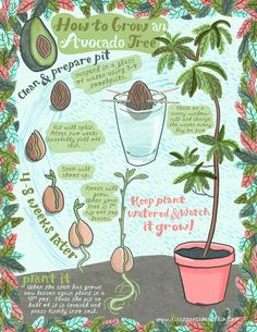 "forestnympho: "" walk-barefoot: "" How to grow an avocado tree from a pit! cute illustration found on First Pancake Studio "" Same. """