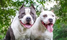 Difference Between a Pit Bull and a Staffordshire American Staffordshire Terriers, Battersea Dogs Home, Pitbull Facts, Sweet Dogs, Dangerous Dogs, Pit Bull Love, Pitbull Terrier, Terrier Mix, Humane Society