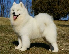 My Samoyed will survey our yard, in a regal stance, with a twinkle in his eye.