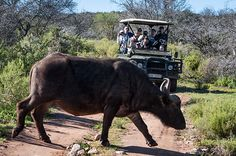 At Buffelsdrift you can enjoy a true African Bush Safaris. They are also known as game drives. View Buffalo, Giraffe, Hippo and various other species. The Ostrich, Game Lodge, Ostriches, Nature Reserve, Natural Wonders, Big Cats, Ecology, Outdoor Activities, Rust
