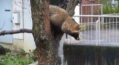 モタモタ……モタモタ…… 高い木から降りようと奮闘するタヌキの様子がどんくさくてかわいい