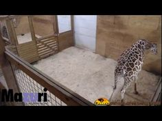 April the Giraffe is expecting a calf! Follow the process as she and her mate, Oliver, welcome a new baby. Animal Adventure Park Harpursville, NY www.TheA...