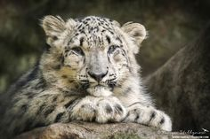 """Snow Leopard Cubposted by permission ofTanya Stollznow.  From Tanya """"his is a portrait I captured of a baby snow leopard. I have a keen interest in the conservation of all wildlife and particularly endangered species..""""  More information about Tanya:  tanyastollznow.com  blog.tanyastollznow  Source:500px.com"""