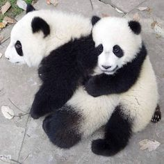 Giant Pandas Qing Da and Meng Lan in 2016 at Chengdu Research Base of Giant Panda Breeding Panda Day, Panda Love, Cute Panda, Animals And Pets, Funny Animals, Angry Animals, Nature Animals, Wild Animals, Panda Lindo