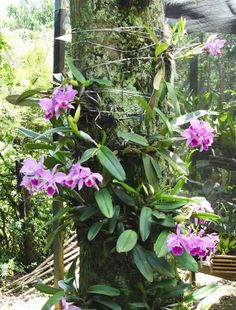 Las orquídeas se pueden clasificar de diversos modos, uno de ellos consiste en hacerlo respecto al sustrato sobre el que crecen. Así nos encontramos con orquídeas epífitas, rupícolas o litófitas, t…