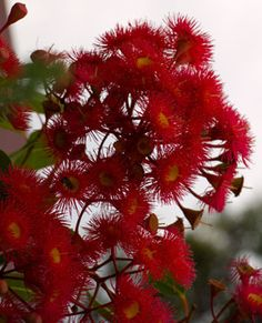 Corymbia ficifolia or Albany Red flowering gum Australian Native Garden, Australian Native Flowers, Australian Plants, Australian Wildflowers, Tasmania, Wild Flowers, Beautiful Flowers, Virtual Art, Trees And Shrubs