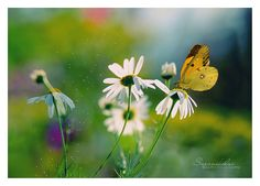 yellow butterfly and white daisy-type flowers | Sara Nikolai on Flickr