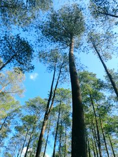 tall trees in Lembang, Bandung, Indonesia