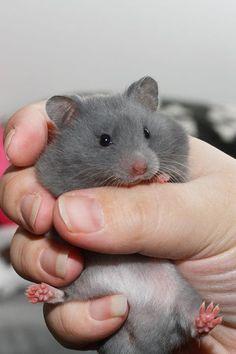 Drusilla - Lavender's Hamstery - Blue SH