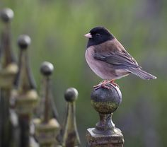 The Dark-eyed Junco (Junco hyemalis) is the best-known species of the juncos, a genus of small grayish American sparrows. This bird is common across much of temperate North America and in summer ranges far into the Arctic. It is a very variable species, much like the related Fox Sparrow (Passerella iliaca), and its systematics is still not completely untangled.