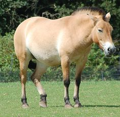 Horse Pictures Only | Przewalski's Horse Pictures
