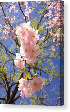 Spring pink and blue Canvas Print for sale. Cherry blossom - pretty pink blossoms against blue sky, a perfect bright day in spring. The image gets printed on one of our premium canvases and then stretched on a wooden frame, click through and check out your options. 30 days money back guarantee. Matthias Hauser - Art for your Home Decor and Interior Design.