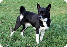 Hagerstown, MD - Chihuahua/Terrier (Unknown Type, Medium) Mix. Meet FIGGY (PUDDING), a dog for adoption. http://www.adoptapet.com/pet/17283189-hagerstown-maryland-chihuahua-mix