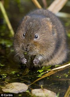 Determined: Water voles are remarkably dedicated when it comes to the quest for love