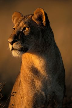 Favorite anaimal Botswana, Chobe National Park, Lioness (Panthera leo) is lit by rising sun in tall grass in Savuti Marsh by Paul Souders Beautiful Cats, Animals Beautiful, Animals And Pets, Cute Animals, Chobe National Park, Lion And Lioness, Lion Love, Majestic Animals, Tier Fotos