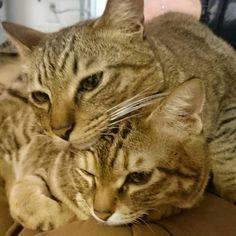「#キジトラ#きじとら#ねこ#ネコ#猫#ねこ部 #cat わたしの膝の上にて。 とら吉。。栗がつぶれるってば。。」