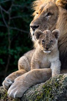 chats sauvages, le père et le petit