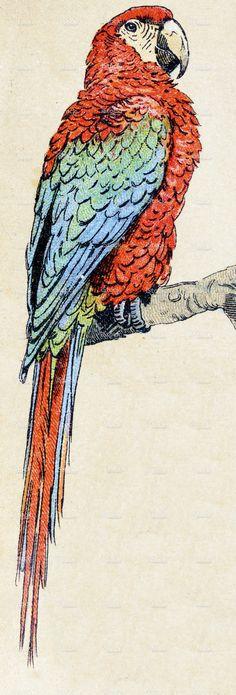 Scarlet macaw, birds animals antique ilustration stock illustration 61773246 - iStock