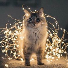 cat-pics - We really love cats. I Love Cats, Crazy Cats, Cool Cats, Christmas Animals, Christmas Cats, Christmas Wreaths, Merry Christmas, Cute Kittens, Cats And Kittens