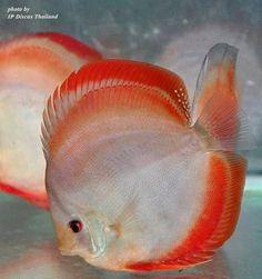 Discus Aquarium, Discus Fish, Marine Aquarium, Aquariums, Saltwater Aquarium, Tropical Freshwater Fish, Freshwater Aquarium Fish, Tropical Fish, Exotic Fish
