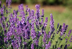 300 Seeds of Lavandula angustifolia, English Lavender Lavender Seeds, Growing Lavender, Lavander, Garden Leave, Lavandula Angustifolia, Kraut, Outdoor Gardens, Pergola, Herbs