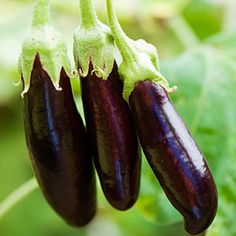 19 best heirloom plants | 'Lebanese Bunching' eggplant | Sunset.com