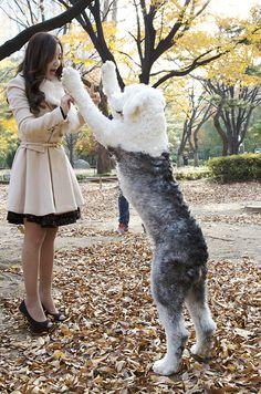 하누 #올드잉글리쉬쉽독 #쉽독 #sheepdog #oldenglishsheepdog #oes #bobtail #펫토그래피 #팻토그래피 #애견스튜디오 #펫스튜디오 #반려동물스튜디오 #반려견촬영 #강아지촬영 #반려견 #반려동물 #pet #petography #dog #doglover #lovepet # puppy #dogphotography #petogapher