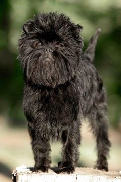 Affenpinscher (monkey face) - this is the breed they used to Mae the Schnauzer mini. Wtf. (Standard schau, poodle and this)