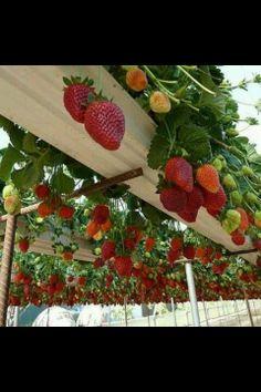 Rain gutter strawberry garden...