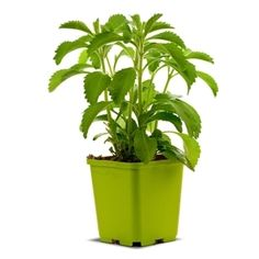 Stevia is Natural has zero Calories, a low glycemic index and is times sweeter than sugar! Stevia is approved by the Food Safety Authority of Australia and New Zealand as a safe ingredient. Glycemic Index, Weight Loss Tea, Aquaponics System, Food Safety, Stevia, Planter Pots, Herbs, Nutrition, Feelings